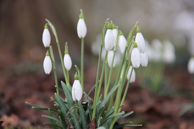 Snowdrops - Image thanks to J Bartlett